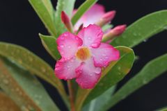 美好的桃红色紫葳藤 库存图片