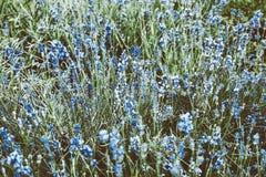 美好的梦想的蓝色花田充分的框架 免版税库存照片