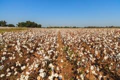 棉花领域 免版税图库摄影