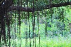 美好的榕树inhong kong 库存照片