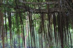 美好的榕树inhong kong 免版税库存照片
