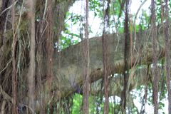 美好的榕树inhong kong 图库摄影