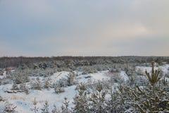 美好的横向 冬天小杉木在森林里 库存图片
