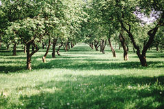 美好的横向 苹果苹果分行结果实叶子果树园 免版税图库摄影