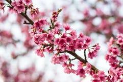 美好的樱桃桃红色进展佐仓绽放 免版税图库摄影