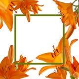 美好的橙色百合背景 库存照片