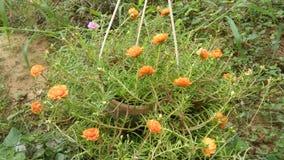 美好的橙色颜色小的花 免版税库存图片