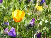 美好的橙色poppys和紫色花 库存图片