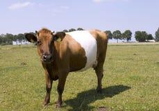 美好的母牛lakenvelder 库存图片