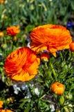 美好的毛茛属橘黄色在一个绿色庭院里 春天五颜六色的花特写镜头  免版税库存图片