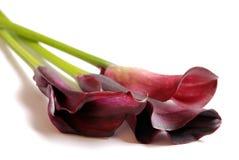 美好的水芋属lillies三 库存照片