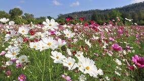 美好的波斯菊开花摇摆在与蓝天的微风 影视素材