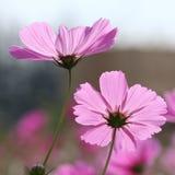 美好的波斯菊粉红色 图库摄影