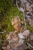 美好的浅景深一只蟾蜍的特写镜头在一个自然生态环境 图库摄影