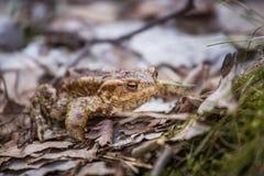 美好的浅景深一只蟾蜍的特写镜头在一个自然生态环境 库存图片