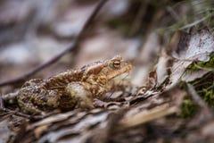 美好的浅景深一只蟾蜍的特写镜头在一个自然生态环境 免版税库存图片