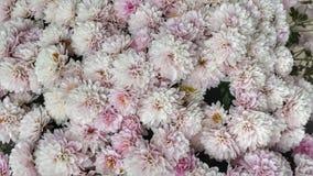 美好的浅粉红色的夏天开花充分的框架背景 图库摄影