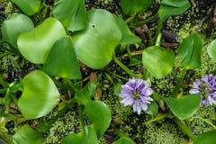 美好的浅紫色的颜色凤眼兰开花的水面上的表面顶视图与光滑的新绿色的离开 库存图片