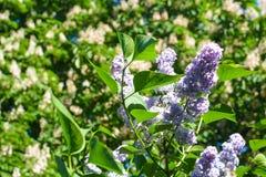 美好的淡紫色绽放在庭院里 免版税图库摄影