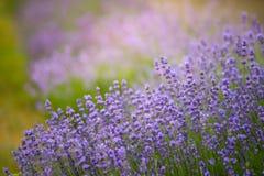 美好的淡紫色领域特写镜头照片在晴朗的早晨 库存图片