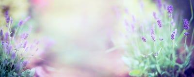 美好的淡紫色开花植物和开花在被弄脏的自然背景,全景 免版税库存图片
