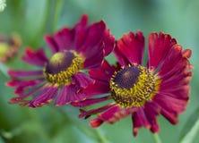 美好的深紫色和黄色裁减生叶的coneflower 库存图片