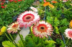美好的混合颜色红色和戴西& x28; 一部分的菊科family& x29;花背景 库存照片
