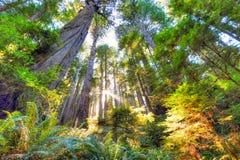 美好的清早在原始林红木森林里 免版税图库摄影