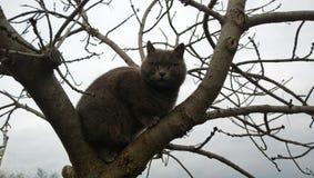美好的灰色在树的猫品种俄国蓝色开会 免版税库存照片