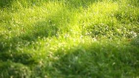 美好的热带叶子纹理、绿草绿色叶子自然背景和异乎寻常的叶子从事园艺 股票录像