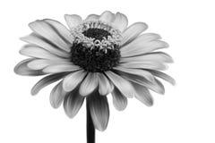 美好的特写镜头花黑白照片 库存例证