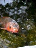 美好的特写镜头观点的日本koi鲤鱼 免版税库存照片