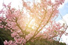 美好的狂放的喜马拉雅樱桃花李属cerasoides,树在秋天和冬天开花 库存照片