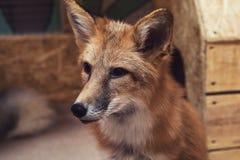 美好的狐狸红色 免版税库存照片