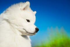 美好的狗萨莫耶特人 免版税库存照片