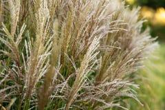 美好的狼尾草alopecuroides -装饰草,喷泉草,选择聚焦 免版税库存照片