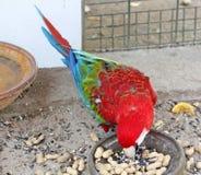 美好的猩红色红色和绿色金刚鹦鹉 库存图片