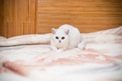 美好的猫品种苏格兰平直黄鼠使用 免版税库存照片