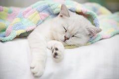 美好的猫品种苏格兰平直黄鼠睡觉 免版税库存图片