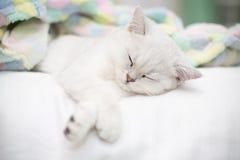 美好的猫品种苏格兰平直黄鼠睡觉 免版税库存照片