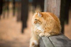 美好的猫红色 免版税库存照片