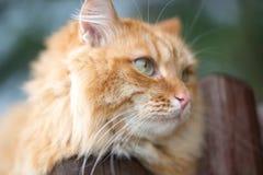 美好的猫红色 库存照片