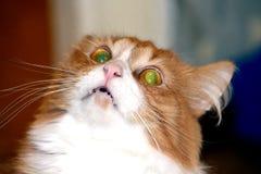 美好的猫红色 免版税图库摄影