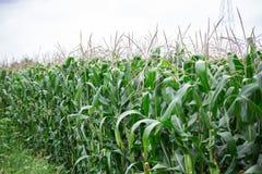 美好的玉米田背景 免版税库存照片