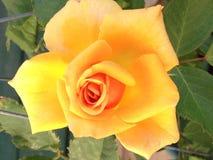 美好的玫瑰黄色 库存图片