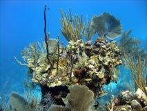 美好的珊瑚题头 免版税图库摄影