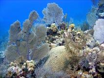 美好的珊瑚题头 免版税库存照片