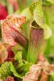 美好的瓶子草,肉食植物 免版税库存照片