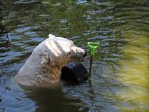 美好的白色北极熊头游泳在与玩具的水中 免版税库存图片