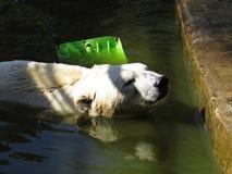 美好的白色北极熊头游泳在与玩具的水中 库存照片